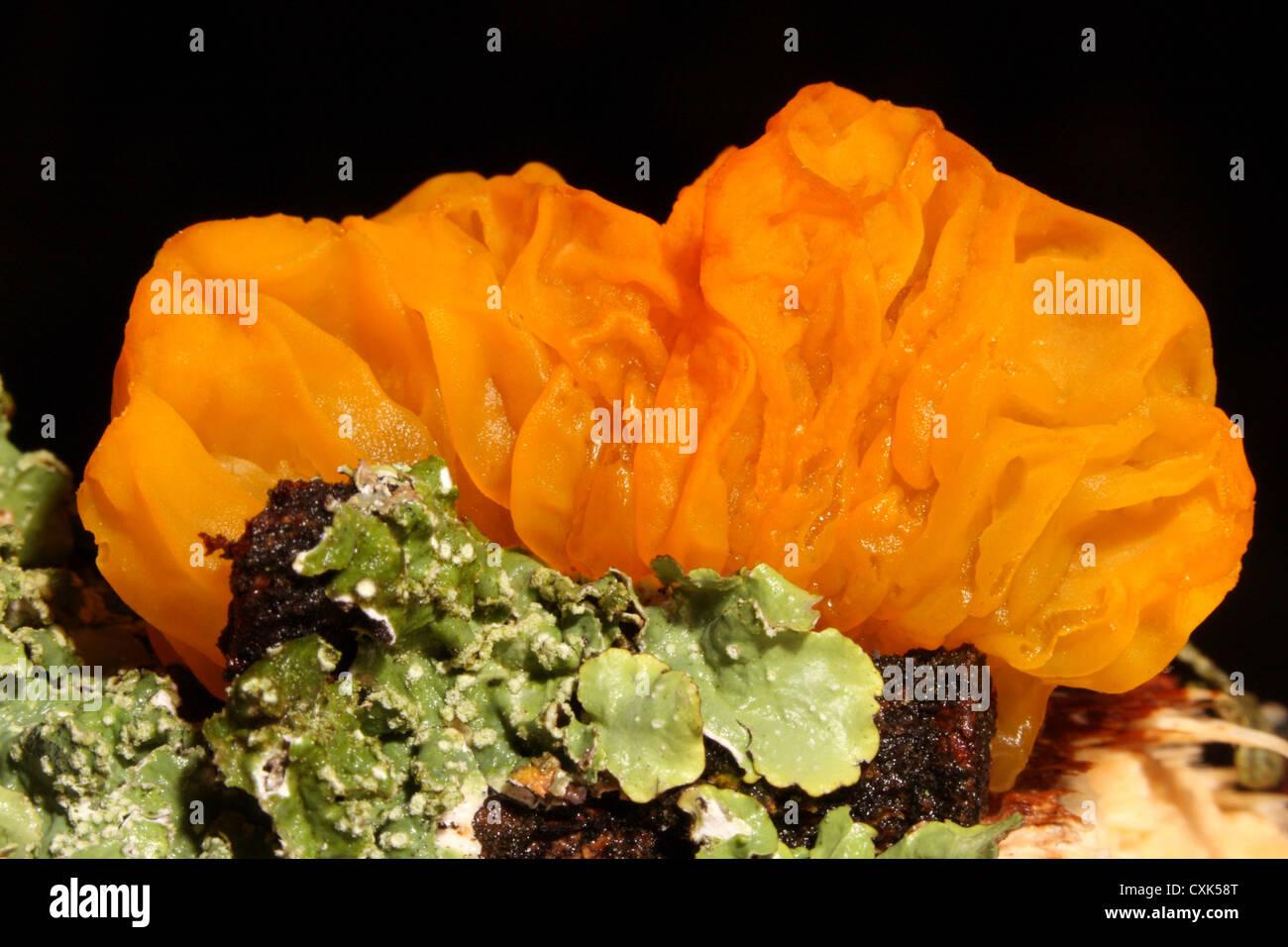 Yellow Brain fungus - Tremella mesenterica - on an oak branch with lichen - Stock Image