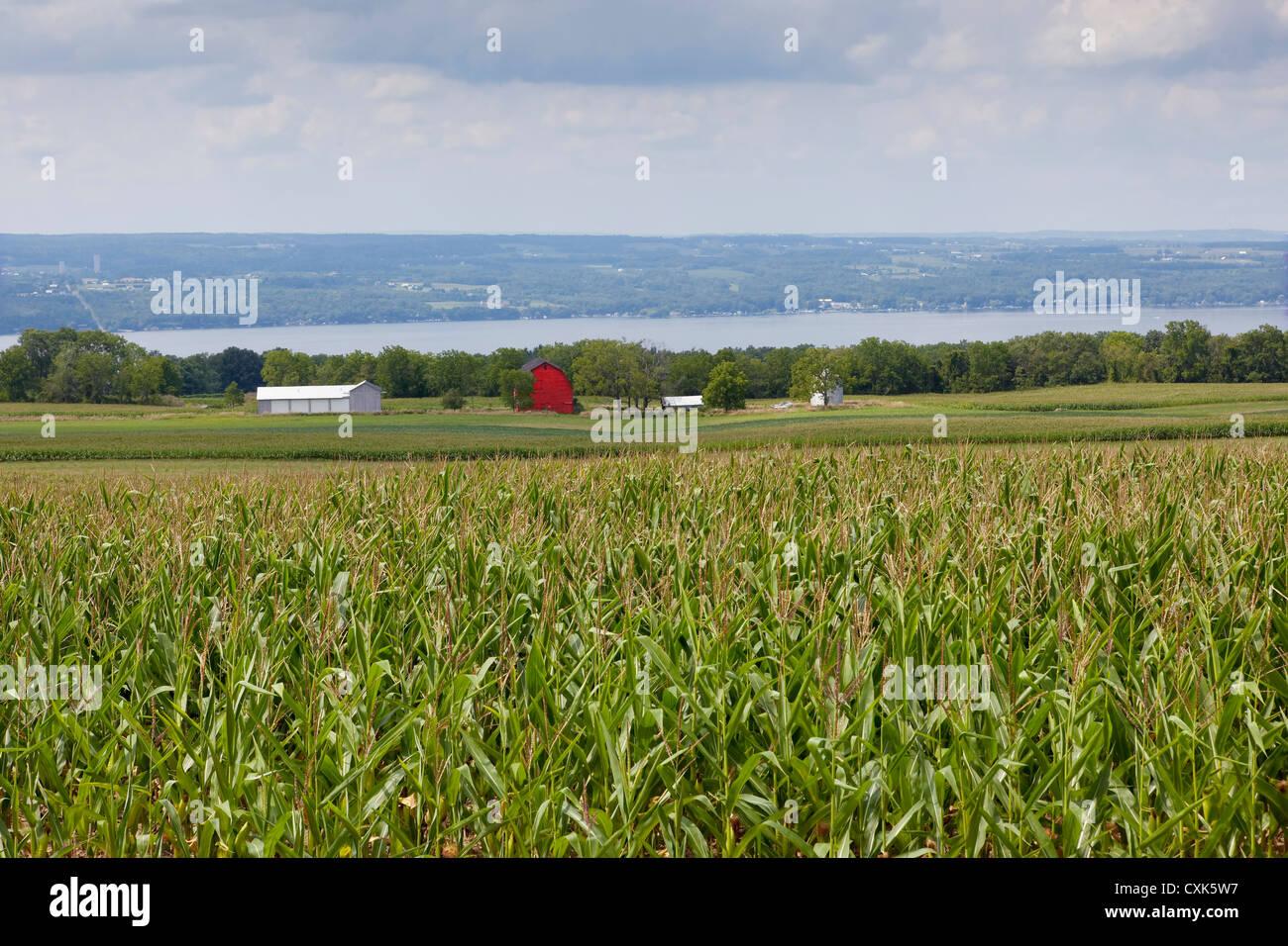 Ripe Corn Field, Finger Lakes Region, New York State - Stock Image