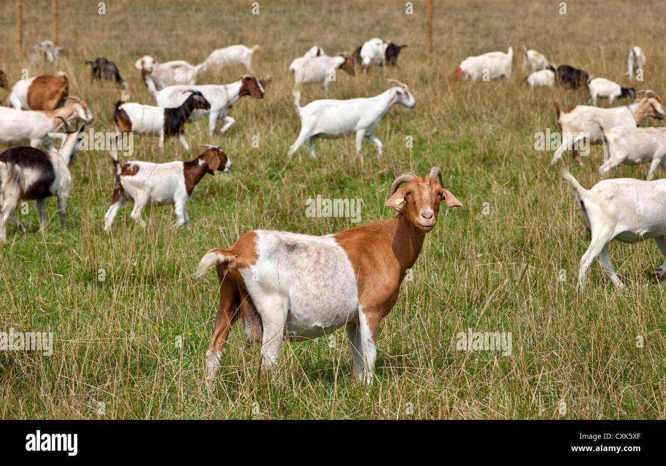 Herd of Boer Goats, Upstate New York - Stock Image