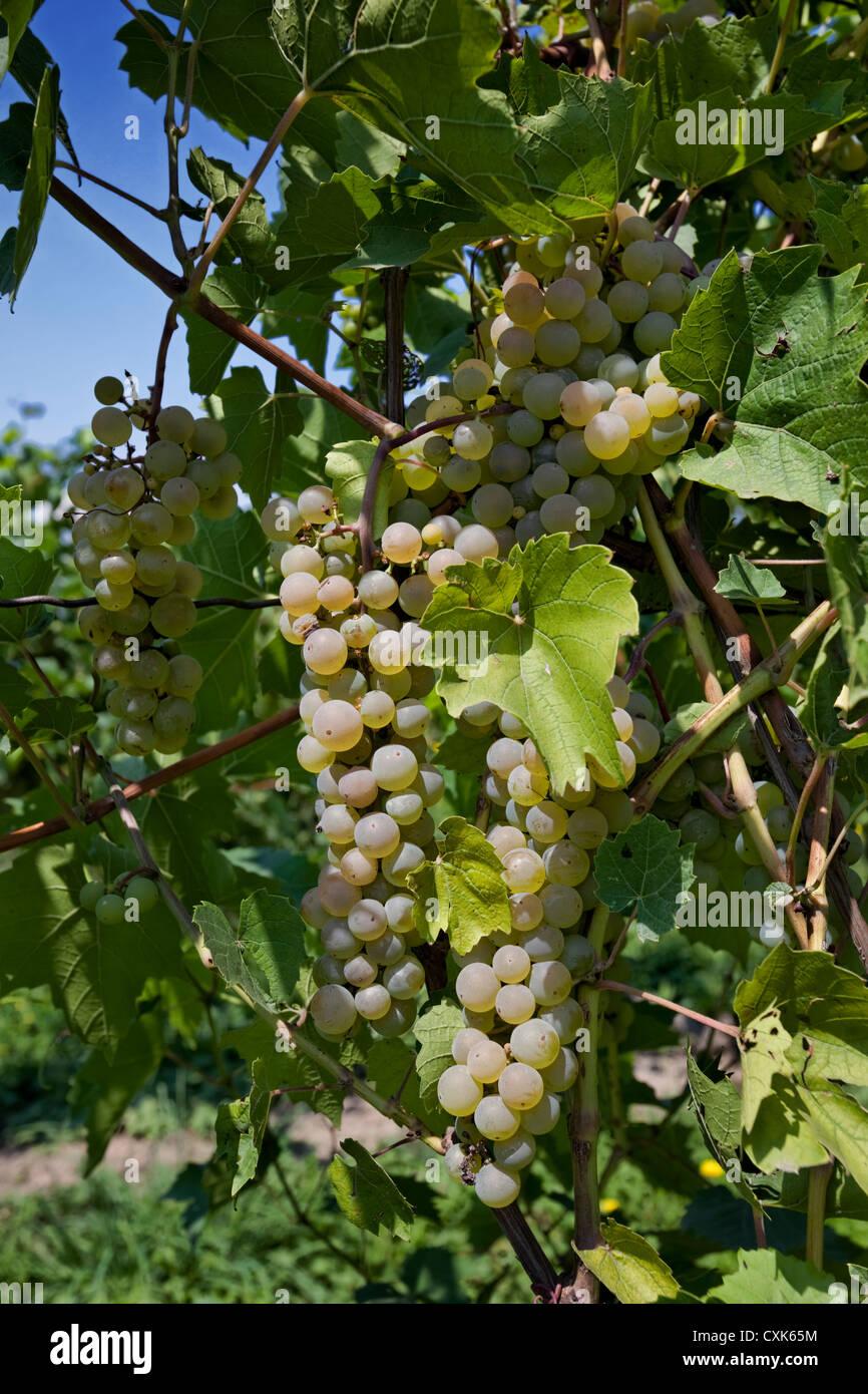 Riesling Grapes, Finger Lakes Vineyard, New York - Stock Image