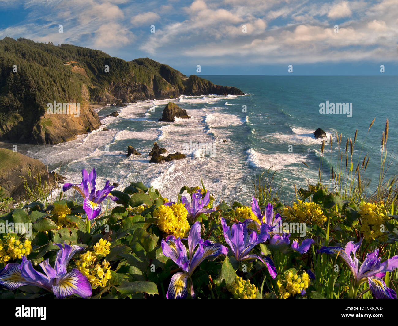 Wild Iris and Oregon Grape growing on cliff overlooking Samuel H. Boardman State Scenic Corridor. Oregon Stock Photo