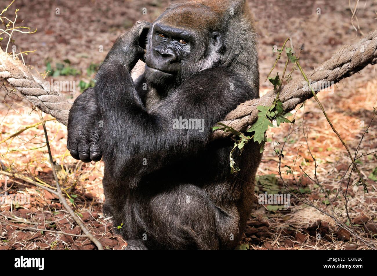 Spain, Cantabria: Gorilla (Gorilla gorilla) in the Animal Park Carbaceno near Santander - Stock Image