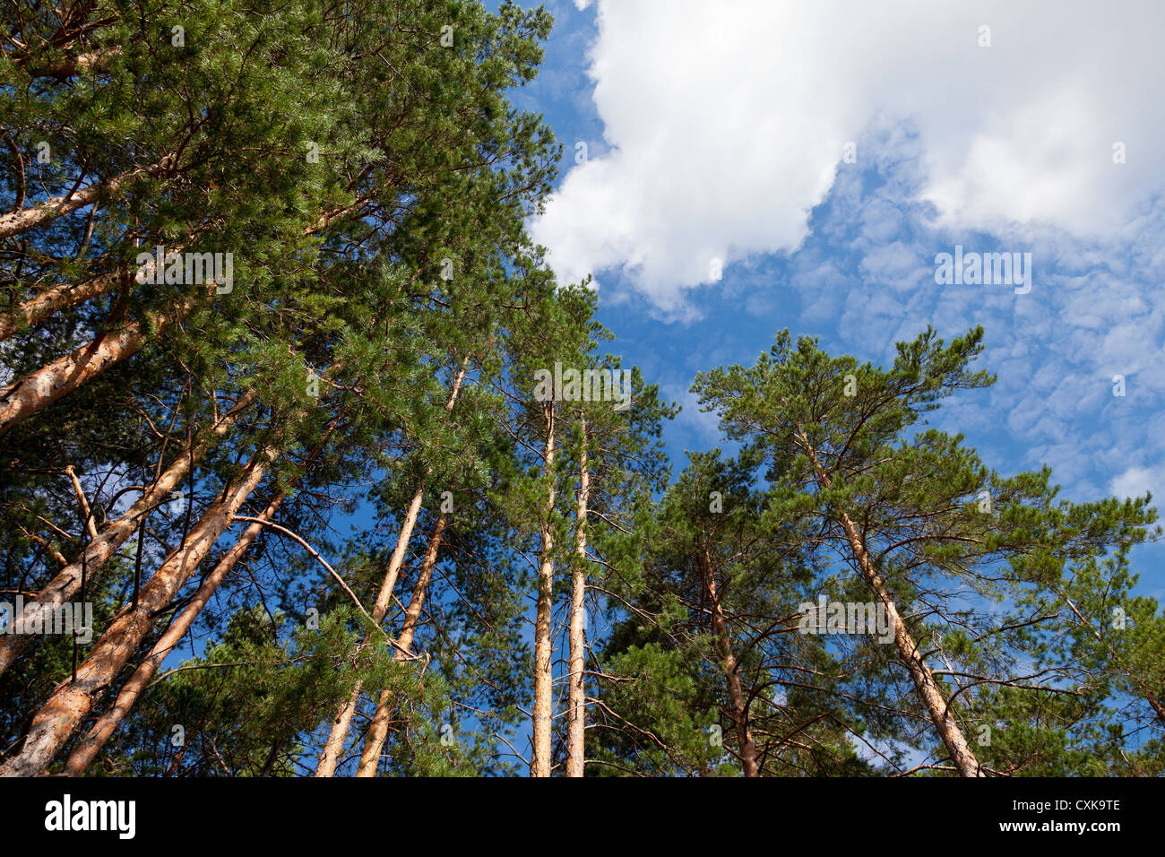 Tall pine trees in the forest against blue sky. Stock Photo