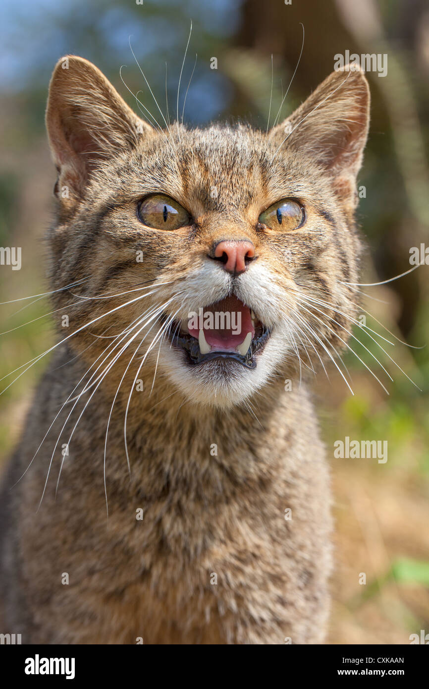 Close-up of a Scottish wildcat kitten (Felis silvestri) showing teeth and snarling, front view - Stock Image