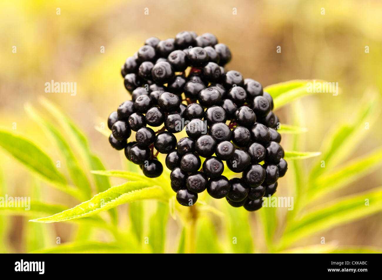 wild black berries photographed on a meadow - Stock Image