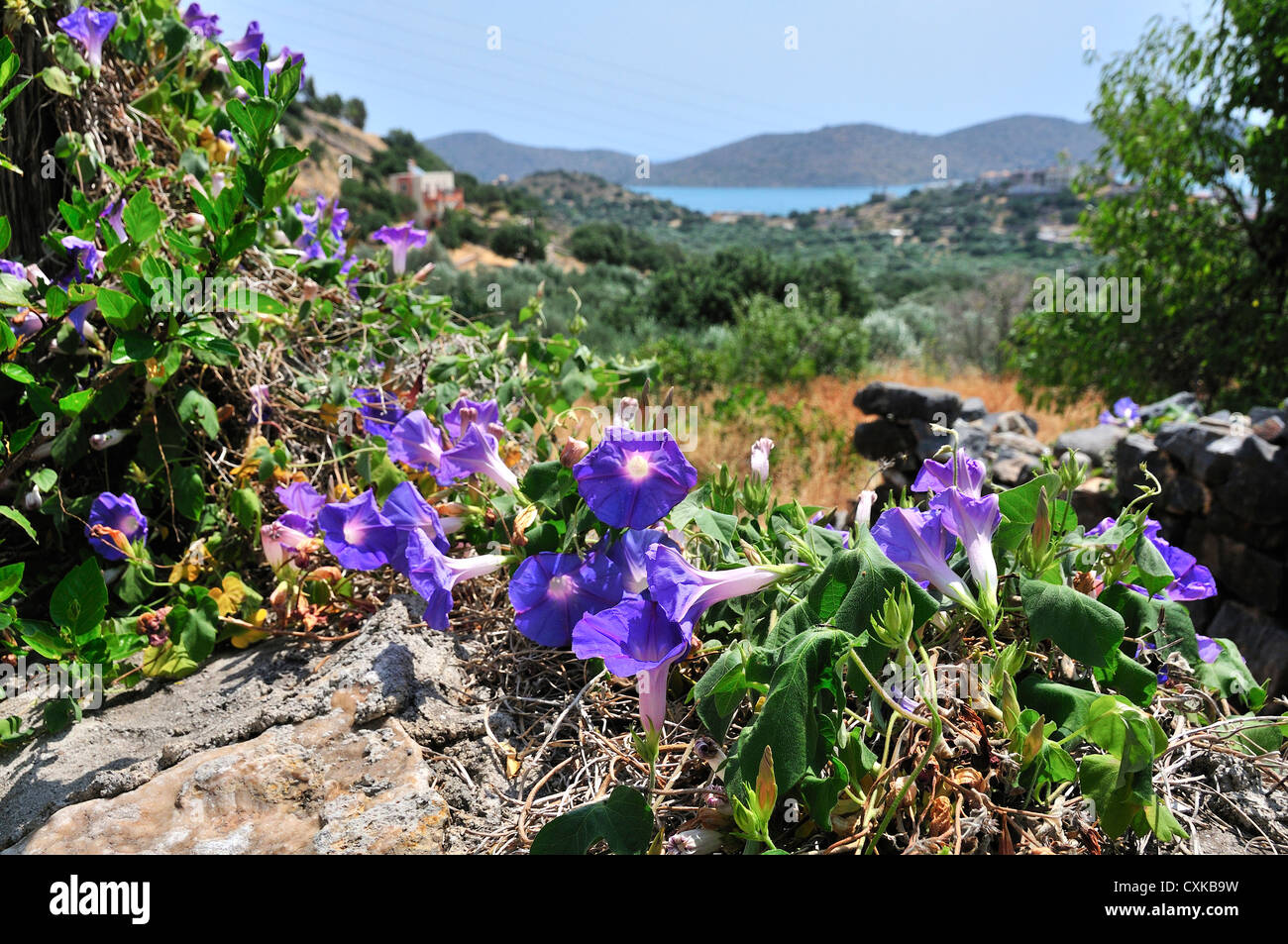 Morning Glory or Convolvulus covering rocks with Mirabello in distance in village of Pano Elounda, Crete, Greece - Stock Image
