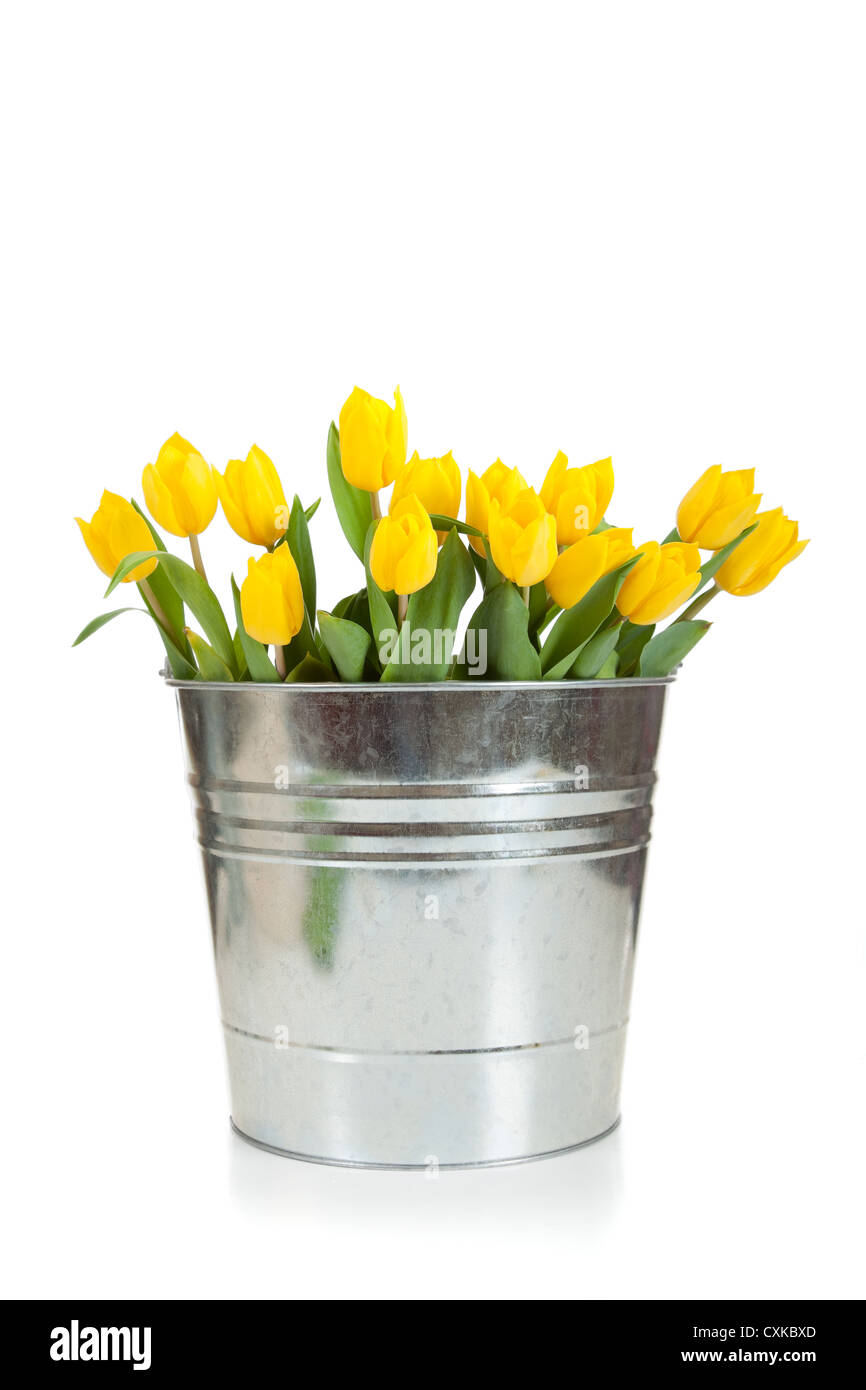Yellow tulips in a metal bucket on a white background - Stock Image