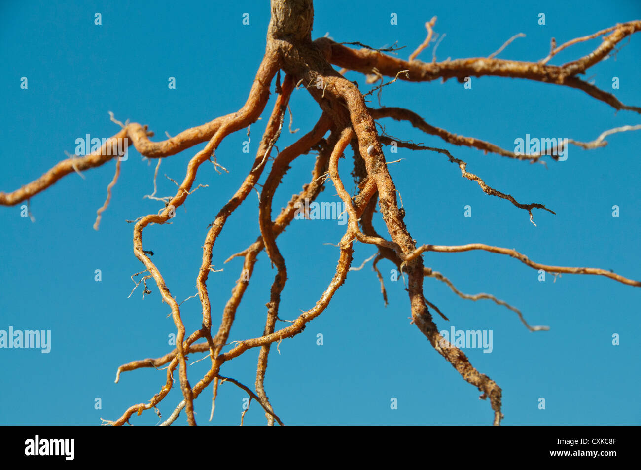 exposed tree root system plant - Stock Image