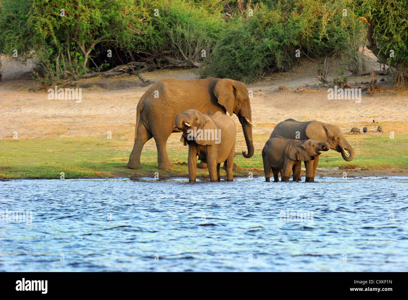African Elephant (Loxodonta africana) Chobe National Park, Botswana, Africa - Stock Image