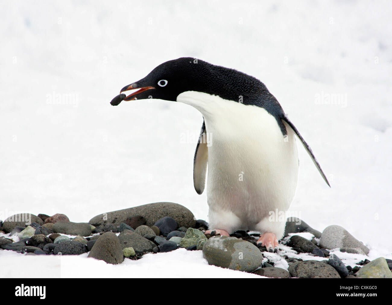 An Adelie Penguin (Pygoscelis Adeliae) at Paulet Island, Antarctic Peninsula, building a nest in the snow. - Stock Image