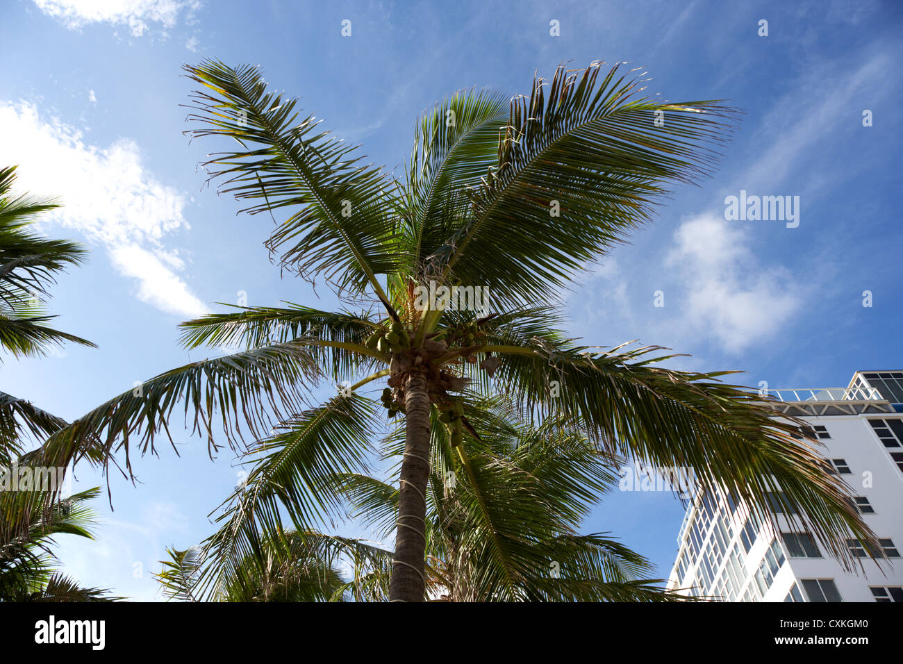 coconut palm tree next to hotel buildings fort lauderdale beach florida usa - Stock Image