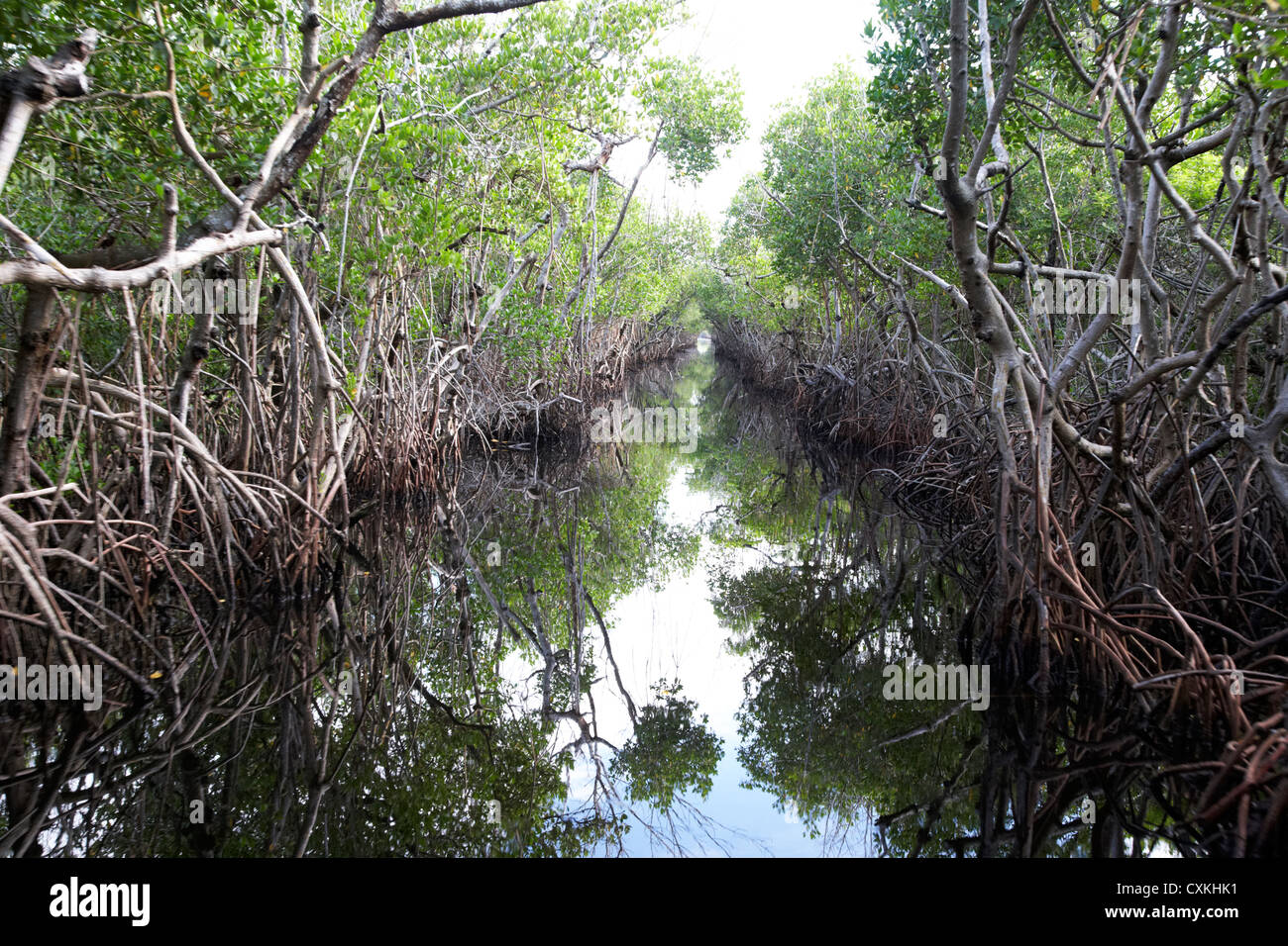 mangrove forest in the florida everglades usa - Stock Image