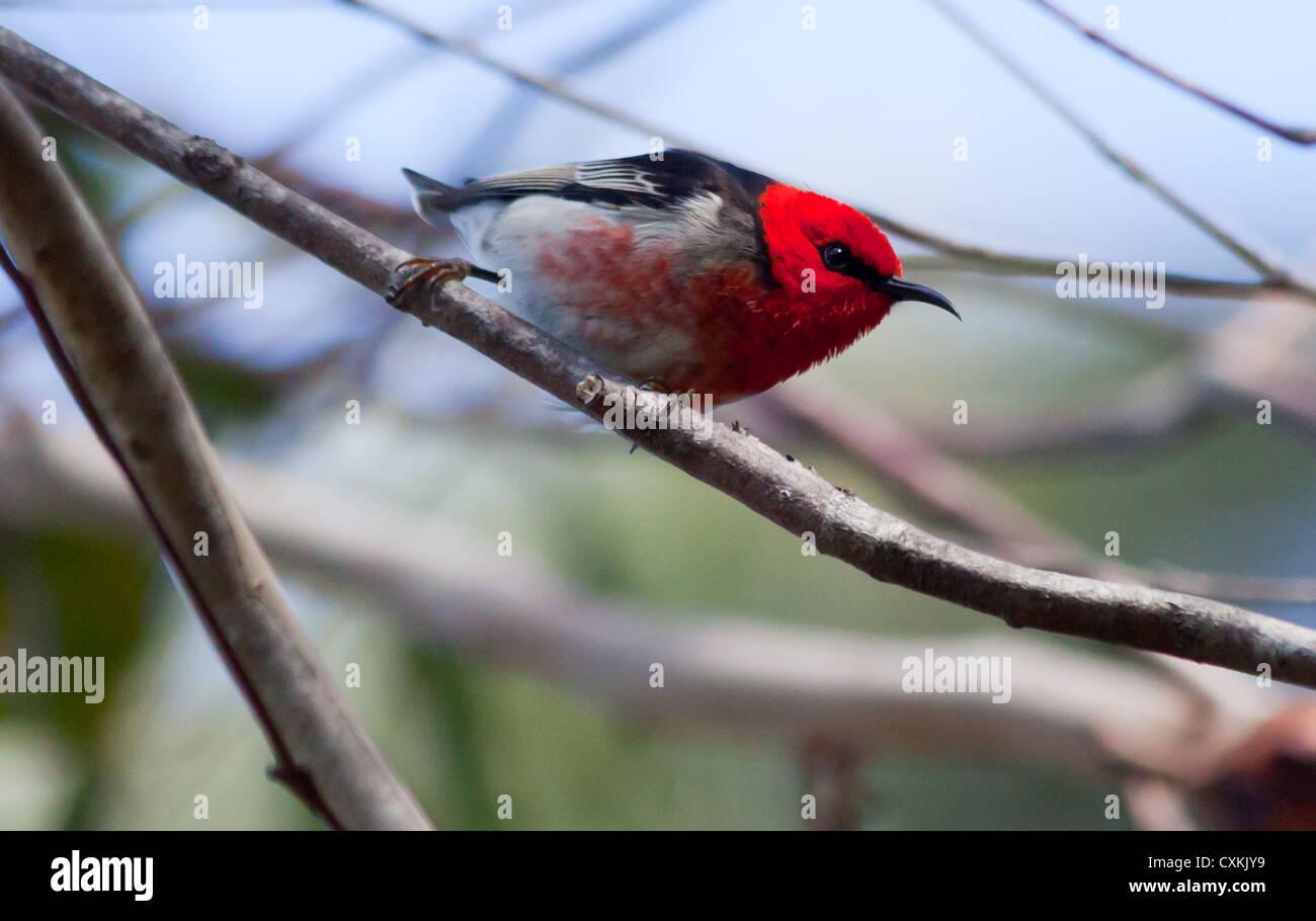 Scarlet Honeyeater, Myzomela sanguinolenta, Australia - Stock Image