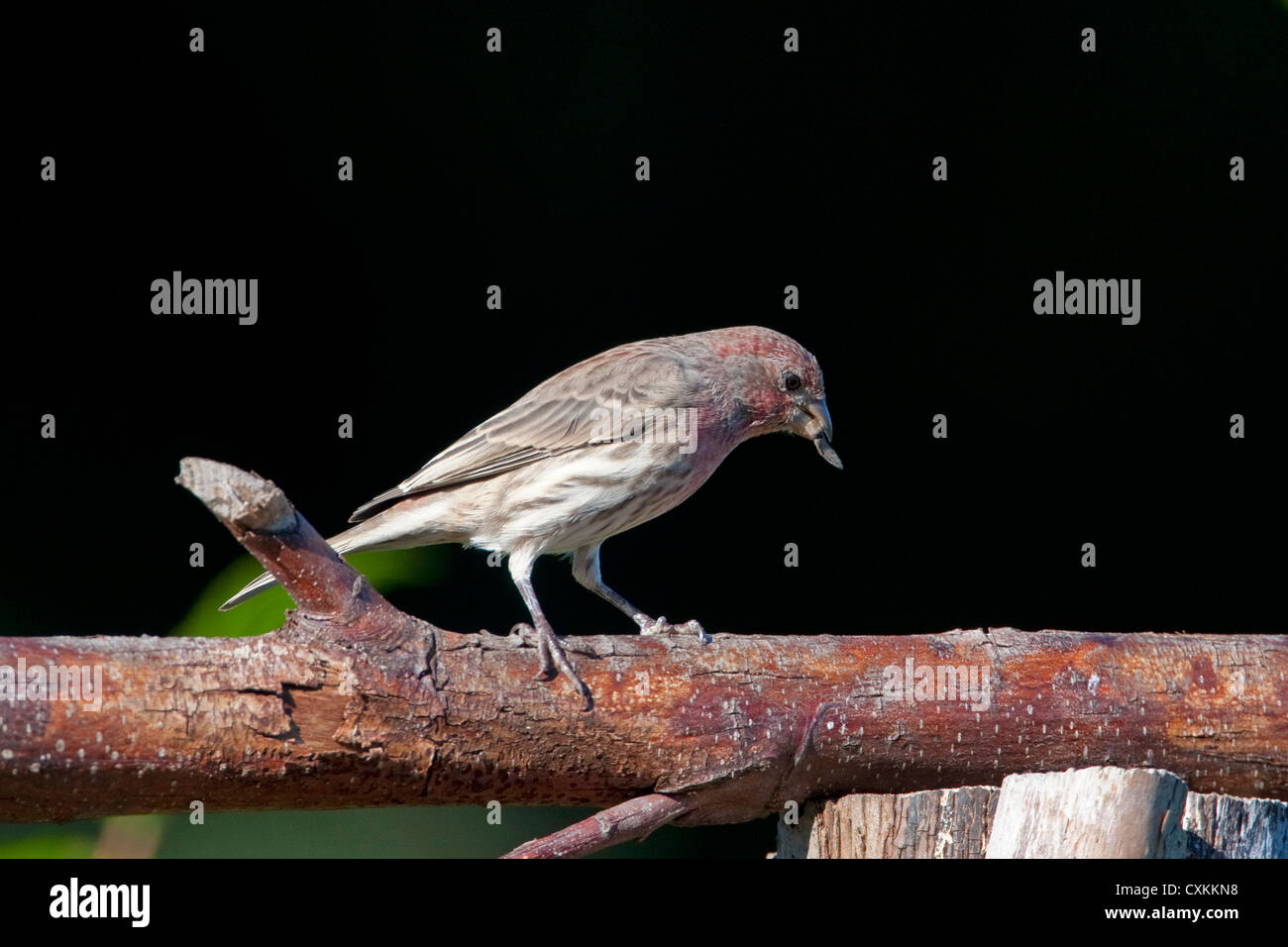 House Finch (Carpodacus mexicanus) male perched on a branch in Nanaimo, Vancouver Island, BC, Canada in October - Stock Image