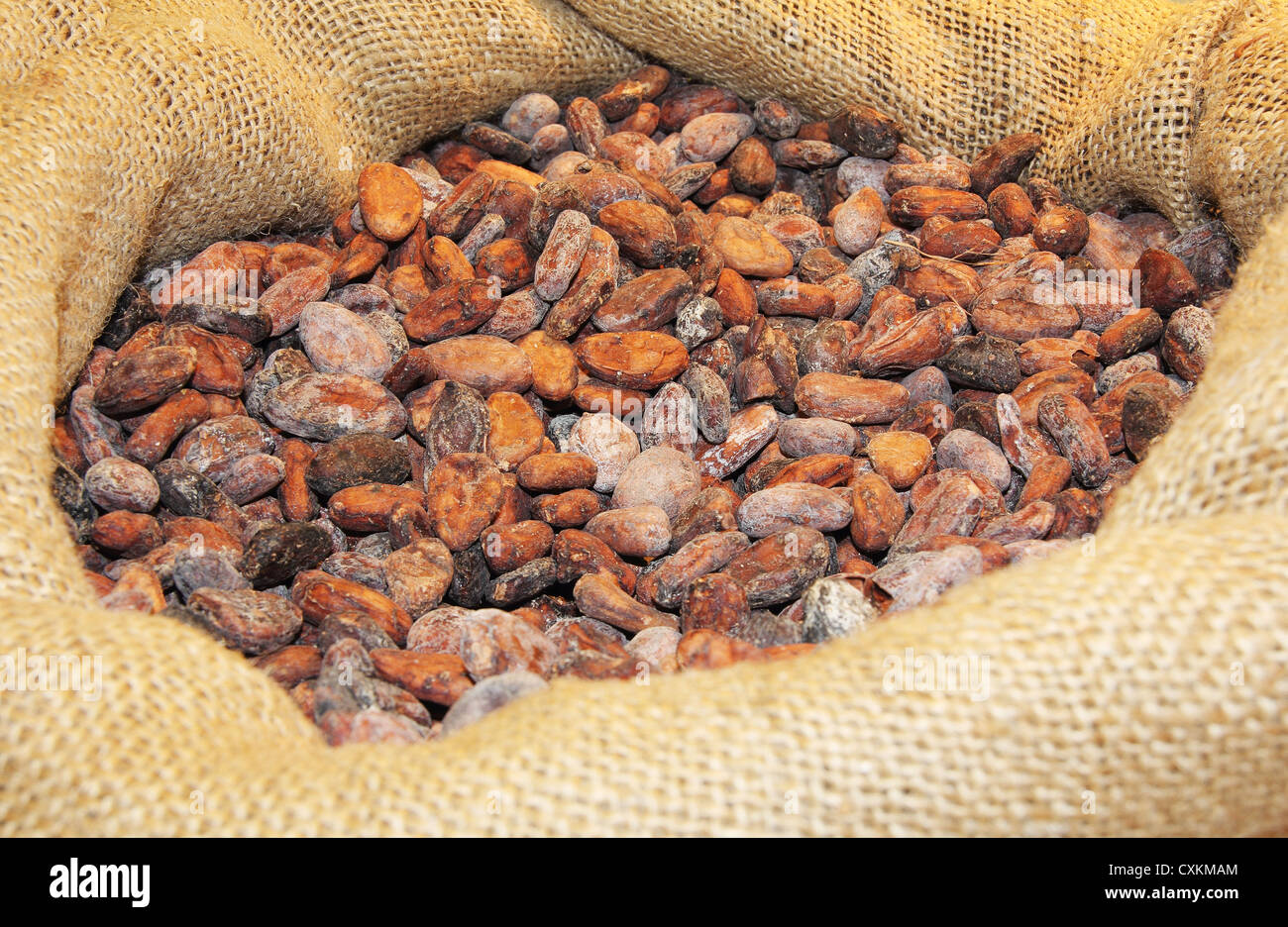 A lot of cocoa beans in a jute bag - Stock Image