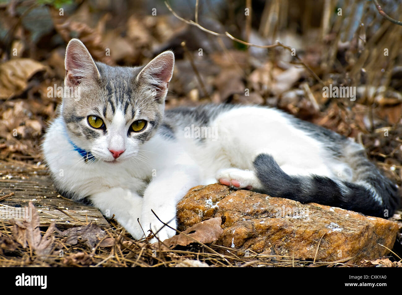 A cute gray and white kitten outside beside a rock. - Stock Image