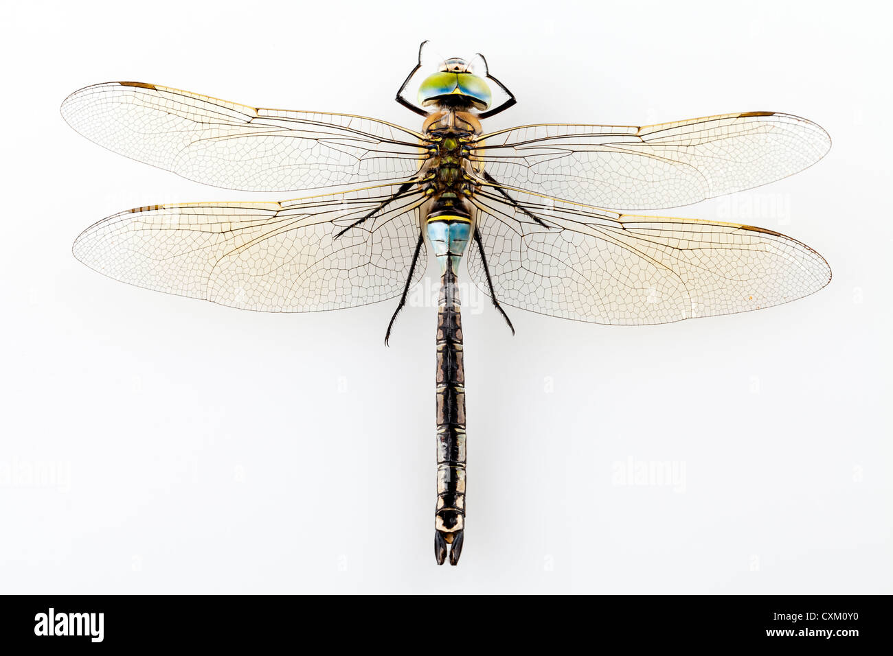 Dragonfly Anax parthenope isolated on white background - Stock Image