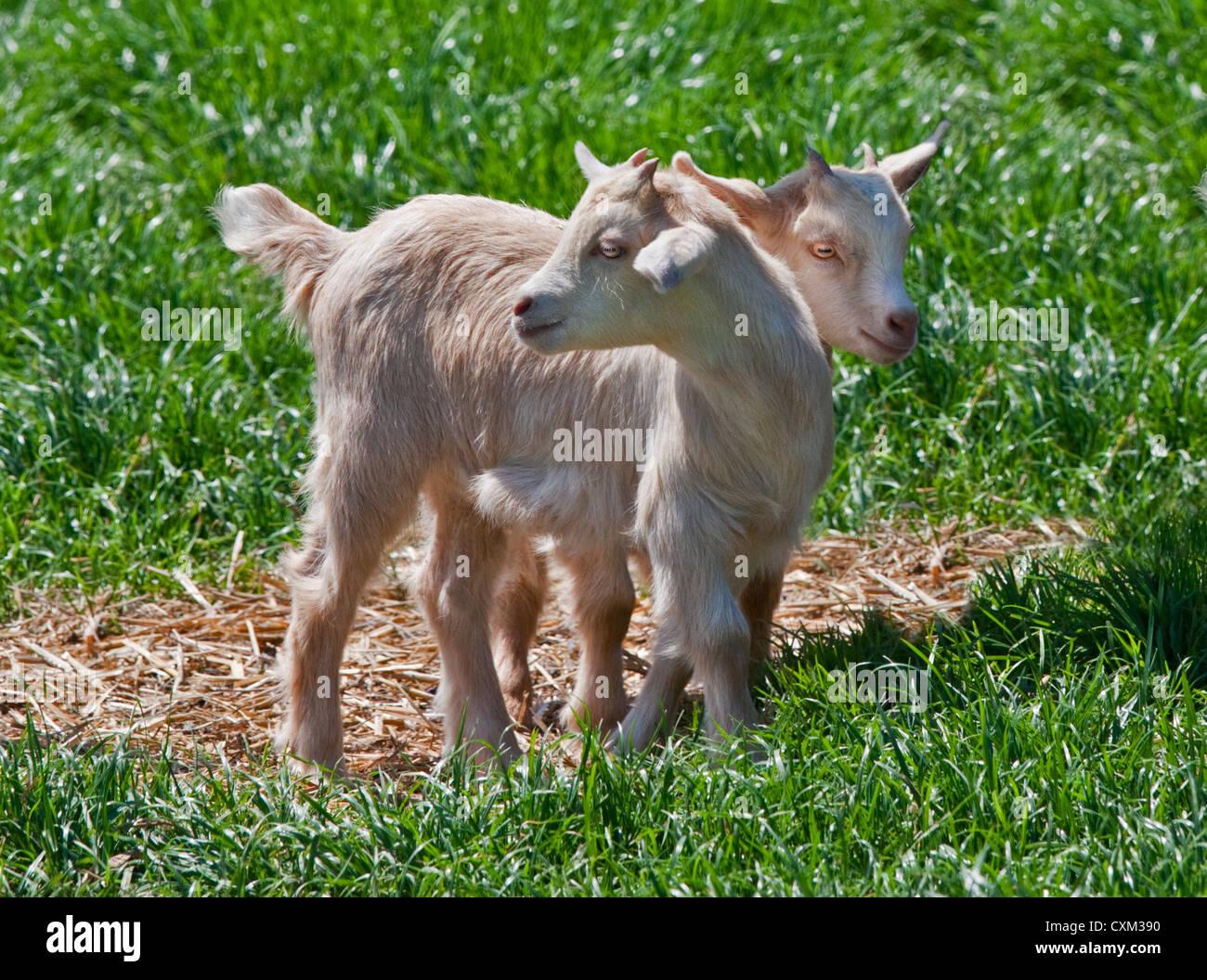 Pygmy Goat Kids, UK - Stock Image