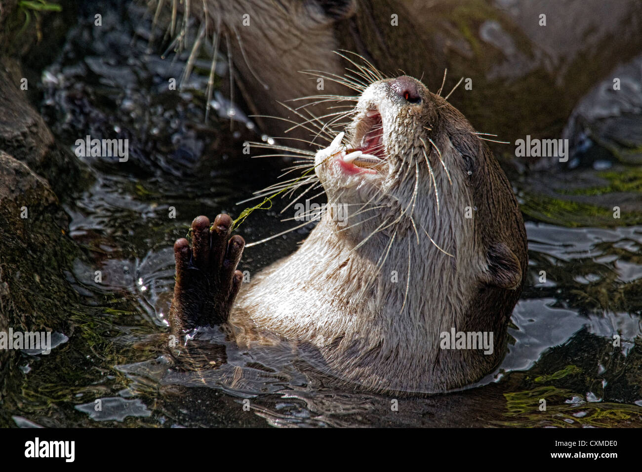 Female Asian Short Clawed Otter(s) - Stock Image