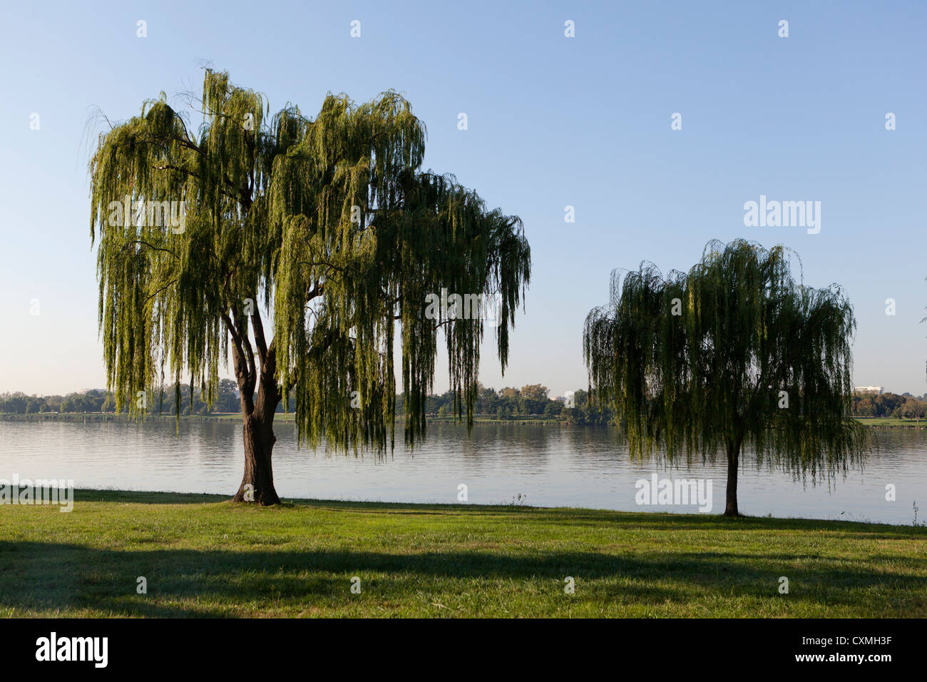 Willow trees on riverbank - Stock Image