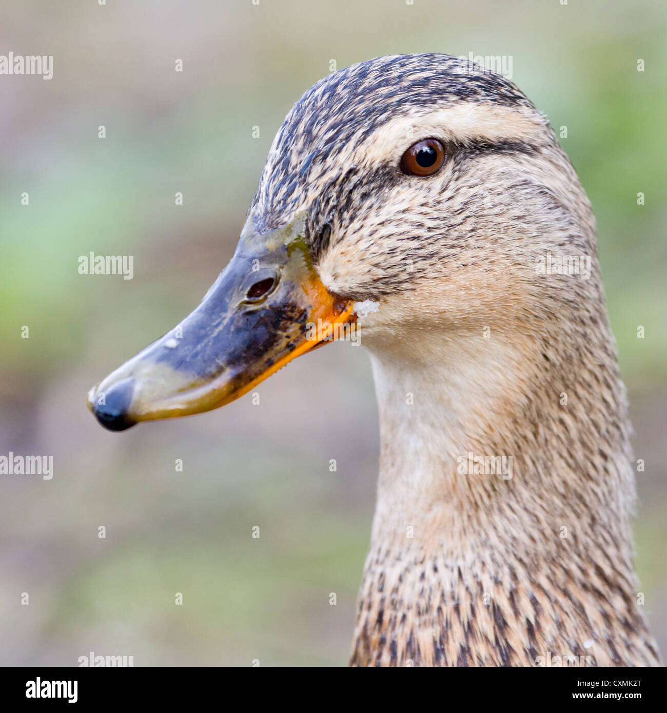 Close-up of a female mallard duck (Anas platyrhynchos), side oblique view of head - Stock Image