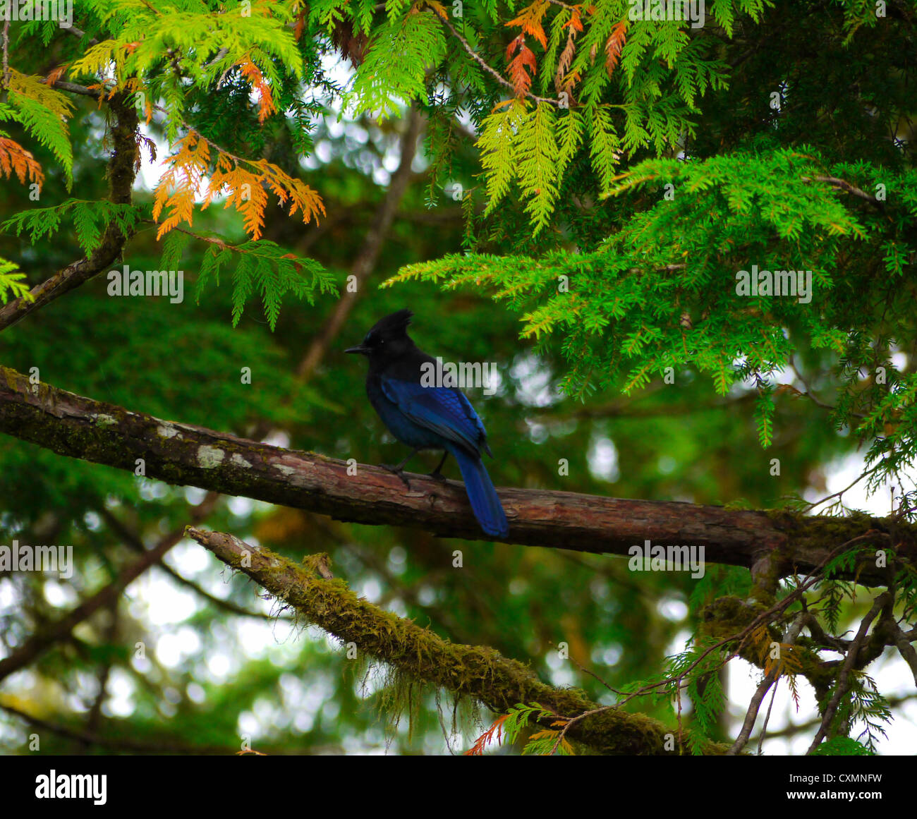 Blue stellar jay in cedar tree - Stock Image