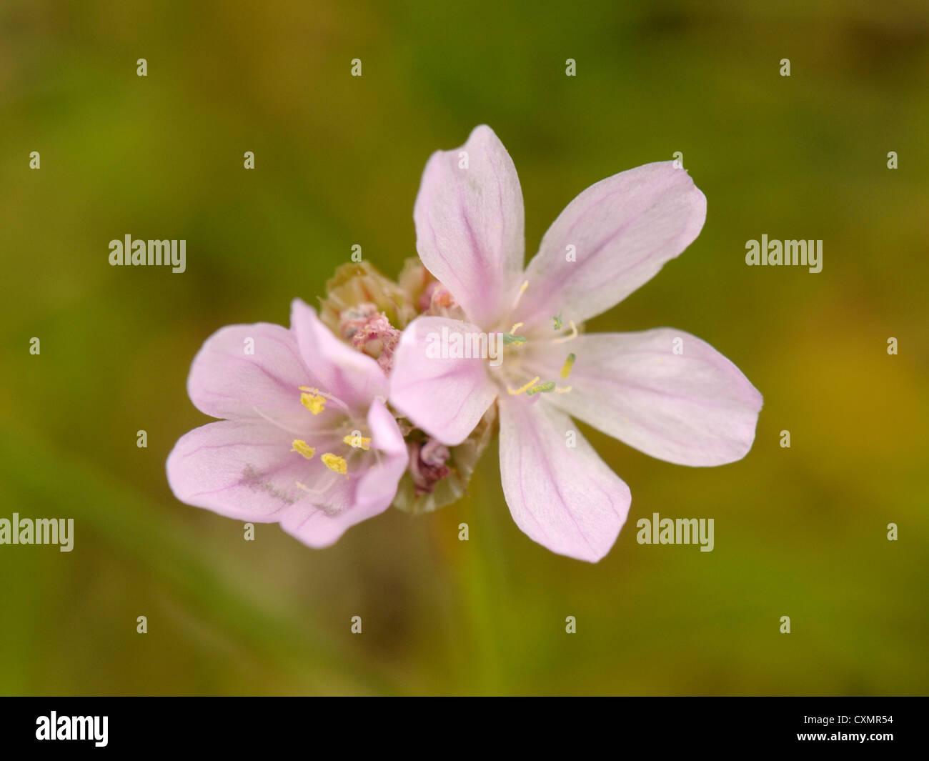 Thrift or Sea Pink, Armeria maritima, Estuarine form. - Stock Image