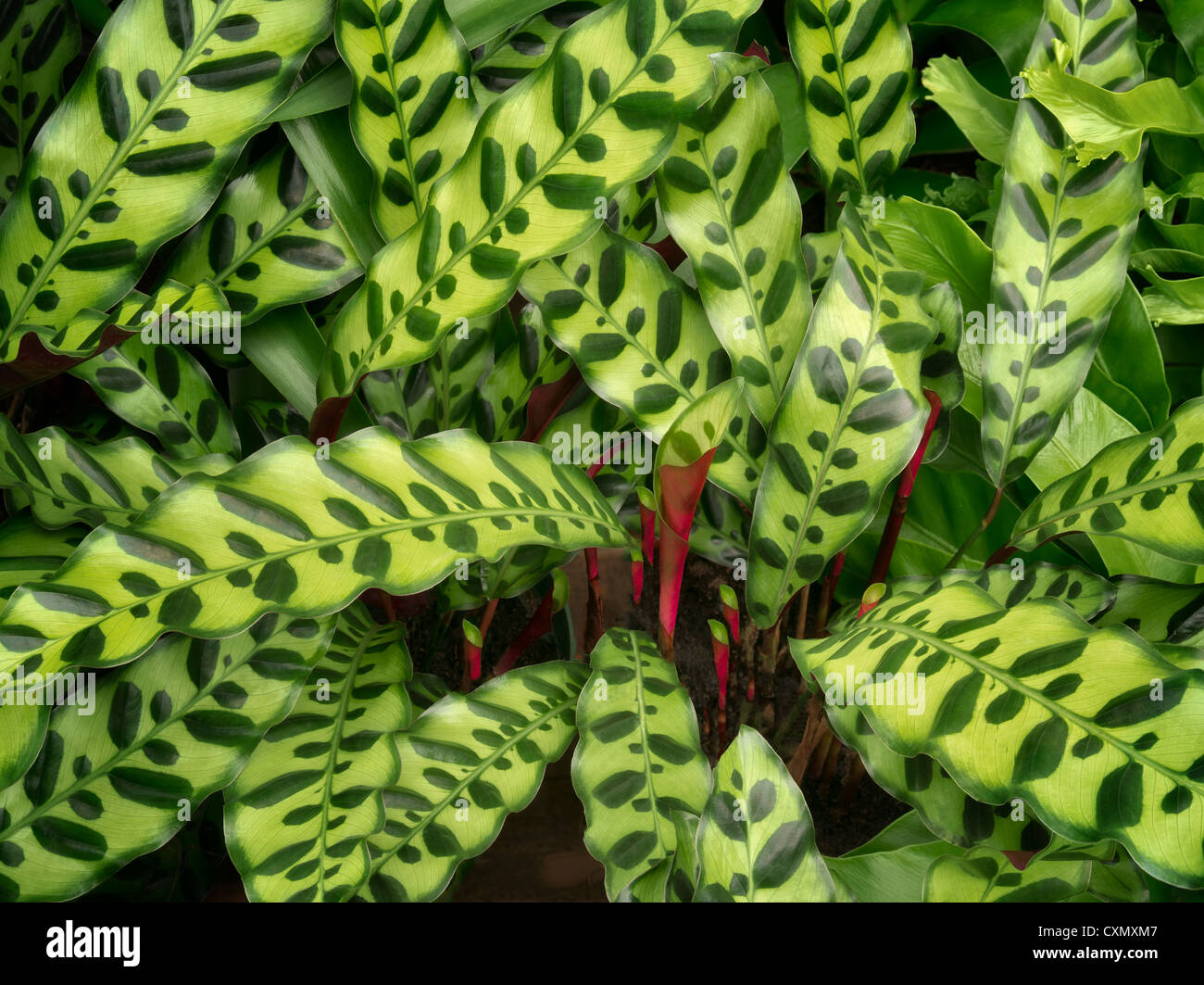 Close up of leaves of dalathea. Oregon - Stock Image