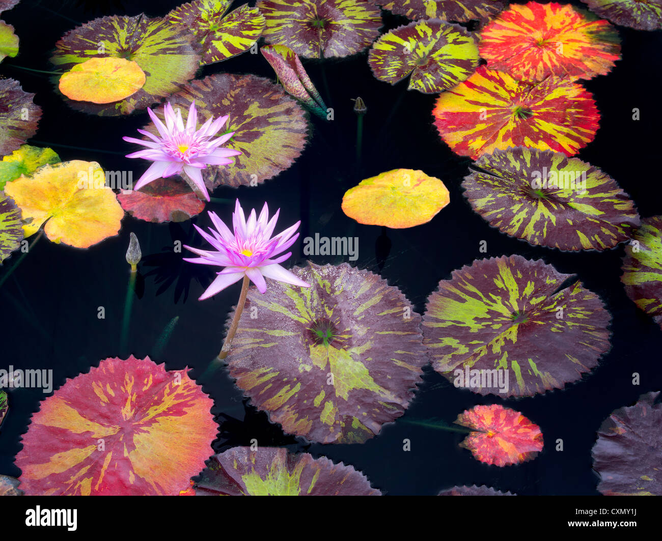 Tropical lilies and colorful leaves at Hughes Water Gardens, Oregon - Stock Image
