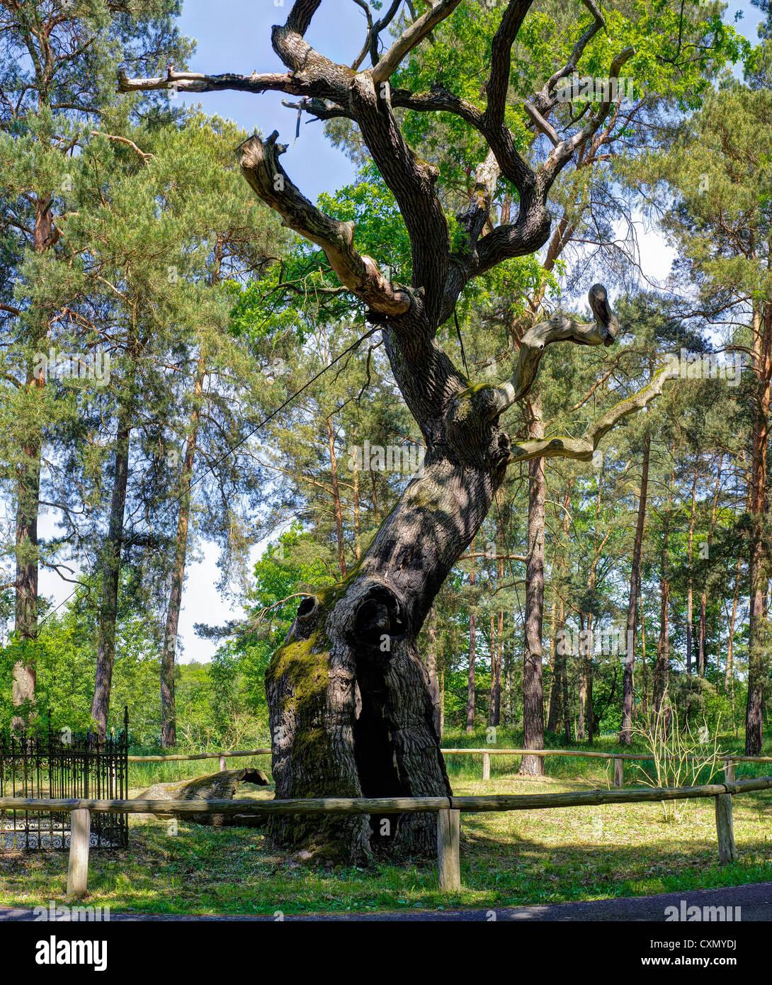 Bosdorf oak at Baruther Glashuette museum village, Baruth Mark, Teltow-Flaeming district, Brandenburg, Germany, - Stock Image