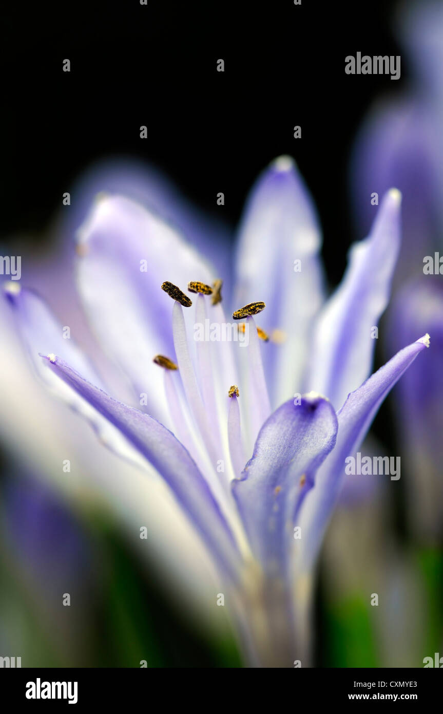 Flowering blue lily stock photos flowering blue lily stock images agapanthus africanus blue lily flowers flowering blooms closeups close ups ups graphic perennials african lily izmirmasajfo
