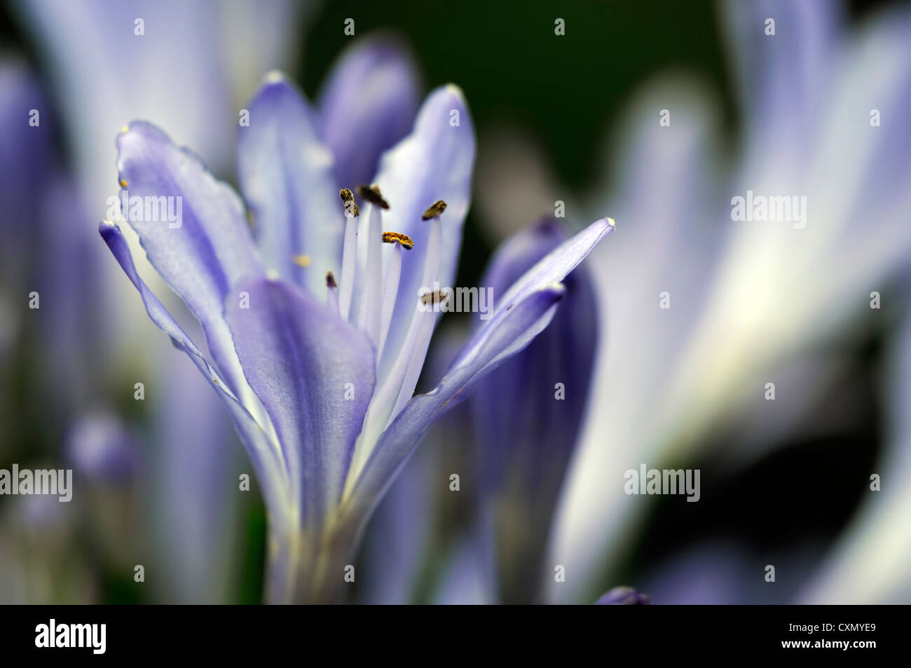 Agapanthus africanus blue lily flowers flowering blooms closeups agapanthus africanus blue lily flowers flowering blooms closeups close ups ups graphic perennials african lily backlit glow izmirmasajfo