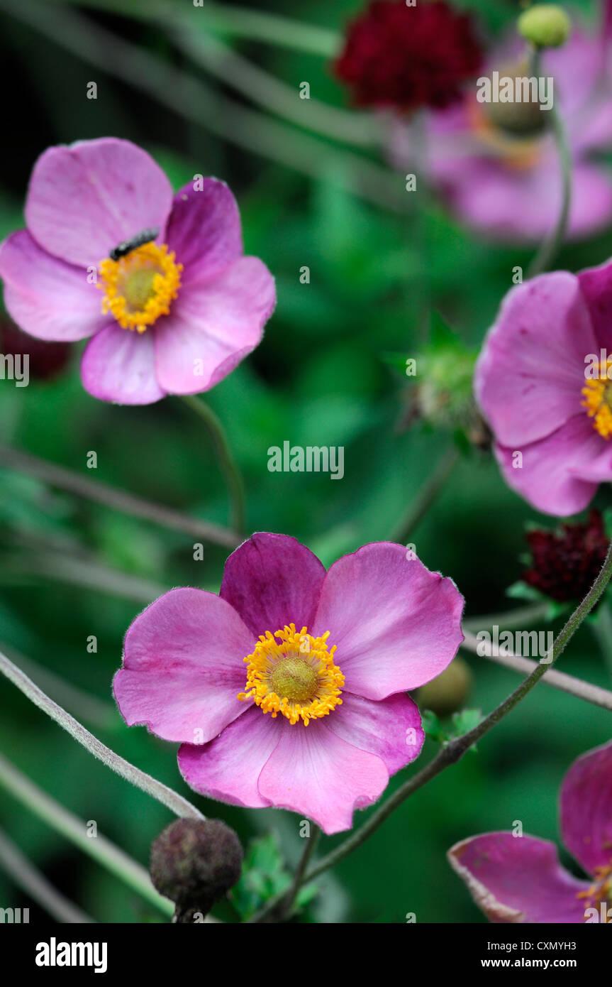 Anemone Huphensis Japanese Anemone Flower Pink Purple Yellow Eye