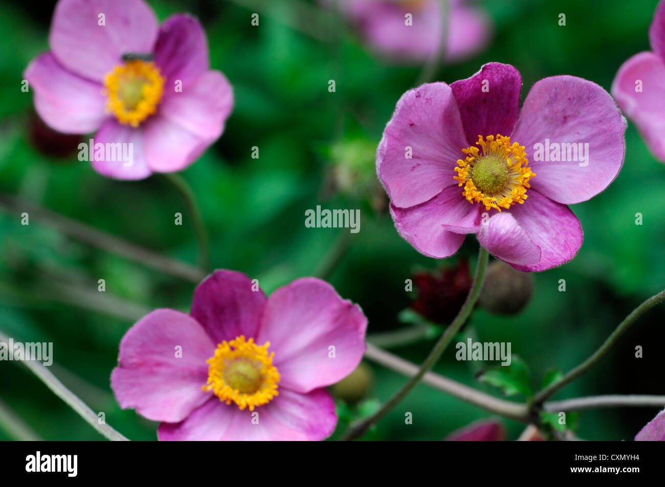 Pink fall anemone flower stock photos pink fall anemone flower anemone hupehensis japanese anemone flower pink purple yellow eye autumn autumnal fall perennial flowering stock mightylinksfo