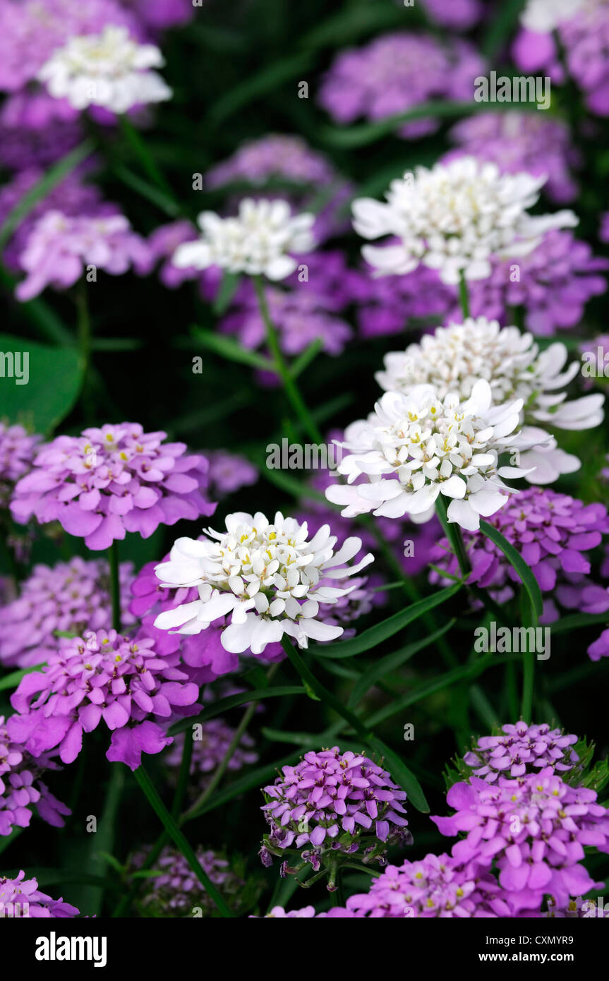 Candytuft Stock Photos Candytuft Stock Images Alamy