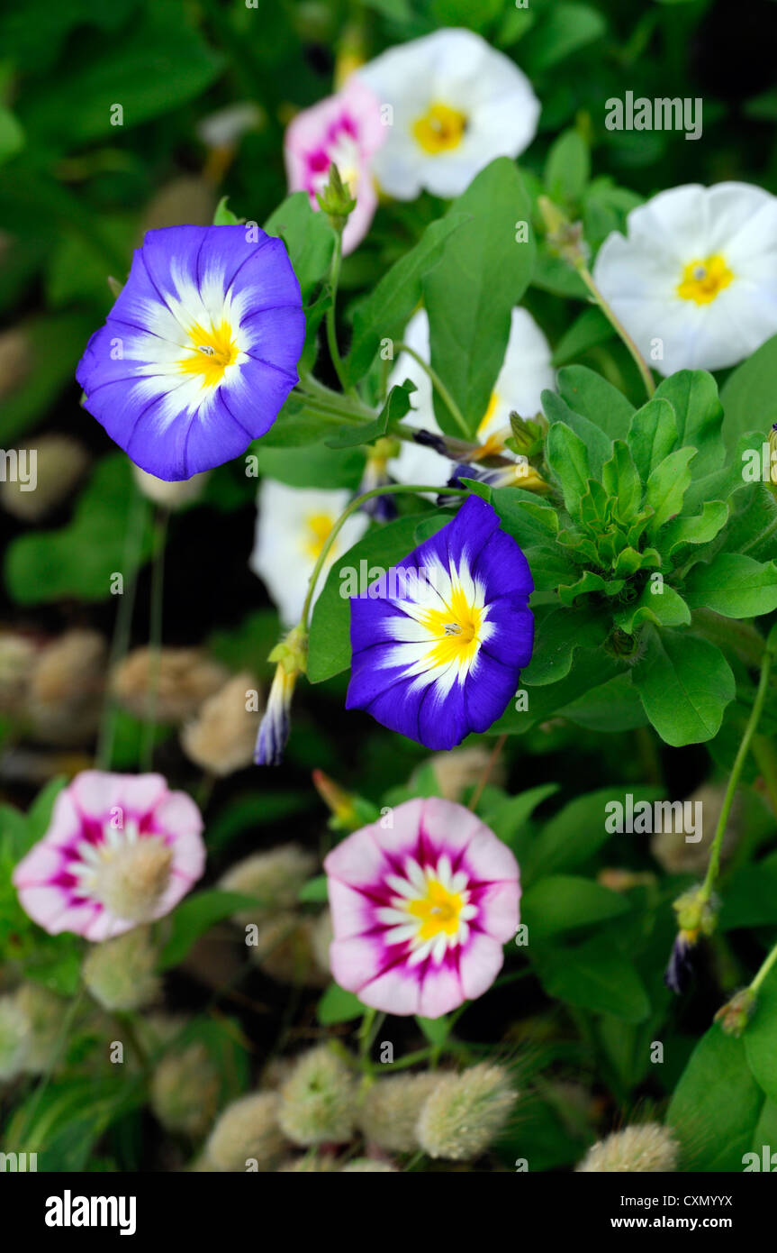 Colourful bright colours morning glory bindweed color blue yellow colourful bright colours morning glory bindweed color blue yellow white annual vine creeper blooming blossom blossoms bloom mightylinksfo