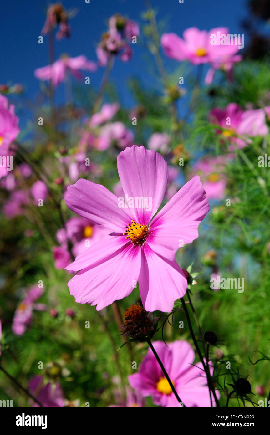 Cosmos bipinnatus pink purple flower bloom blossom selective focus cosmos bipinnatus pink purple flower bloom blossom selective focus pink flowers plant portraits annual annuals flowering izmirmasajfo
