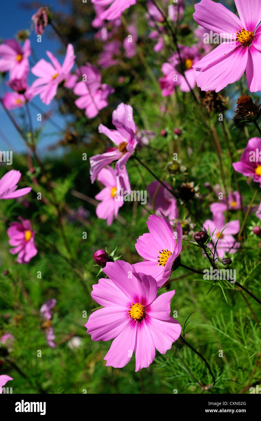 Cosmos bipinnatus pink purple flower bloom blossom selective focus cosmos bipinnatus pink purple flower bloom blossom selective focus pink flowers plant portraits annual annuals flowering izmirmasajfo