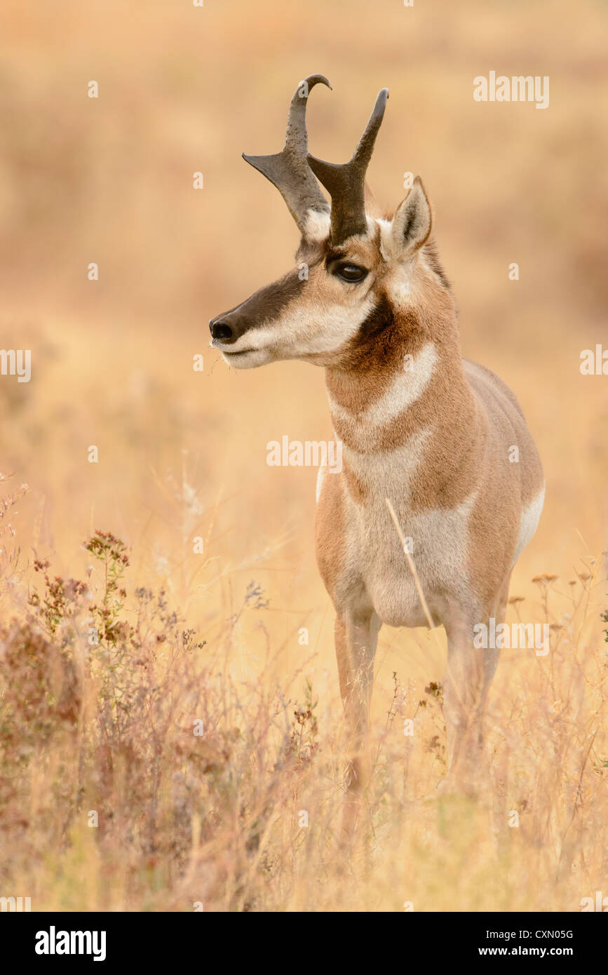 Snorting Pronghorn Buck during the mating rut, Western Montana - Stock Image
