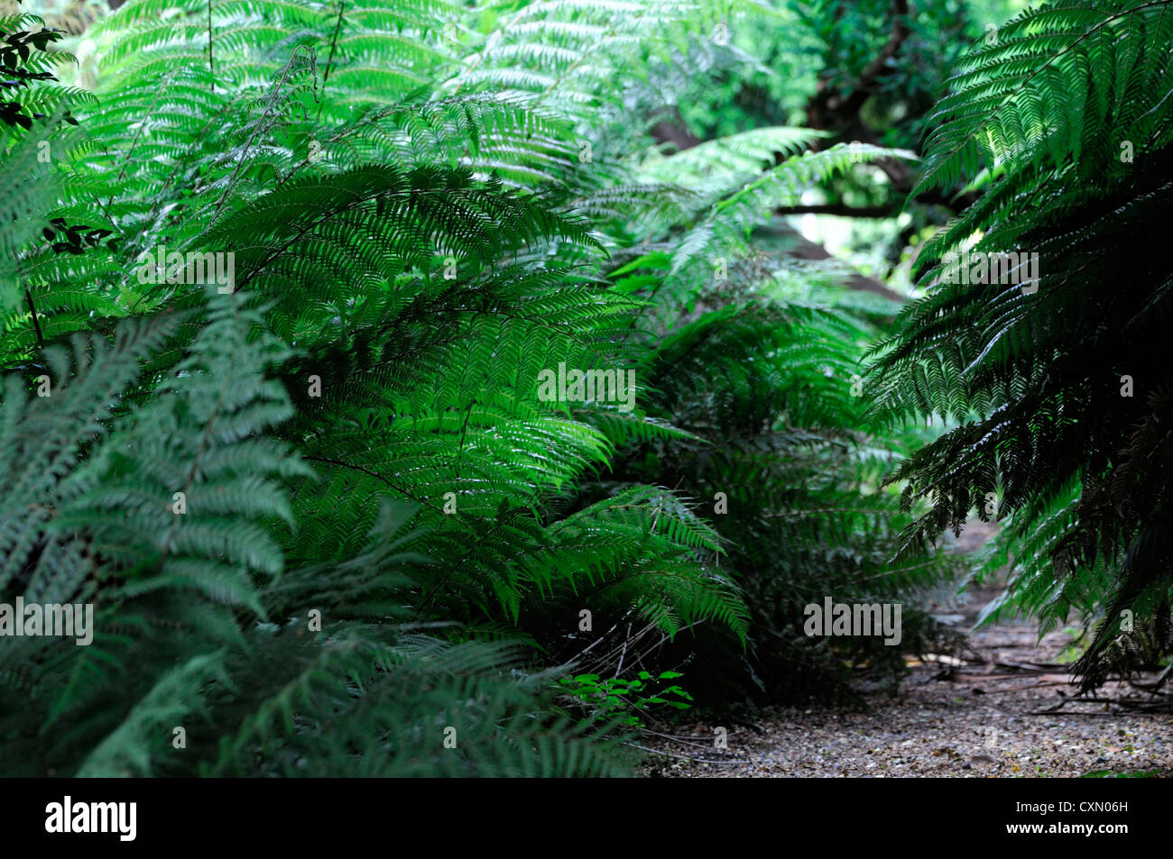 dicksonia antartica tree ferns line lined lining path pathway green leaf leaves foliage tree ferns exotic planting - Stock Image
