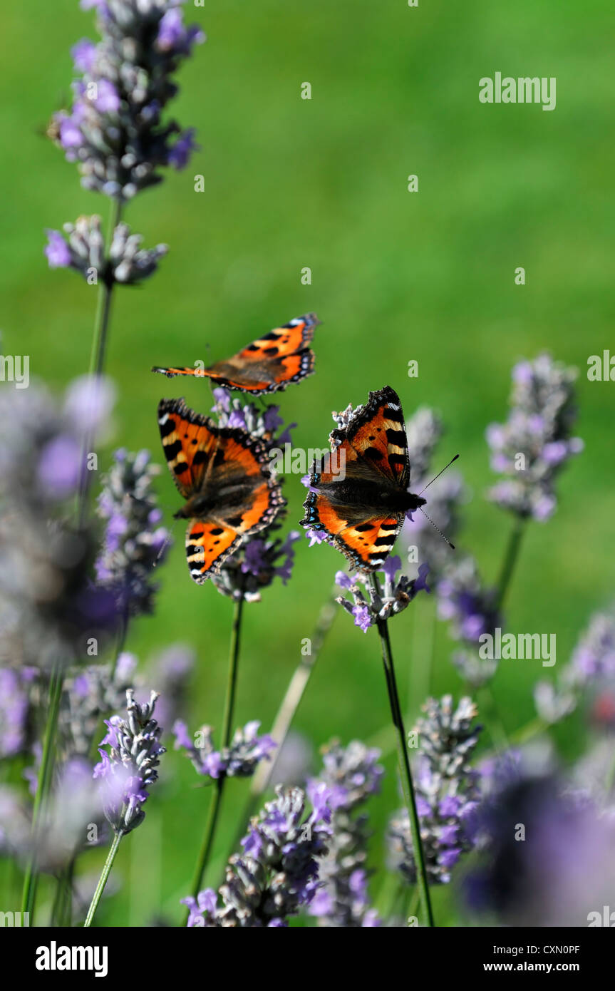 lavender vera tortoiseshell butterfly dutch lavender lavandula vera purple flowers flowering blooms herbs shrubs - Stock Image