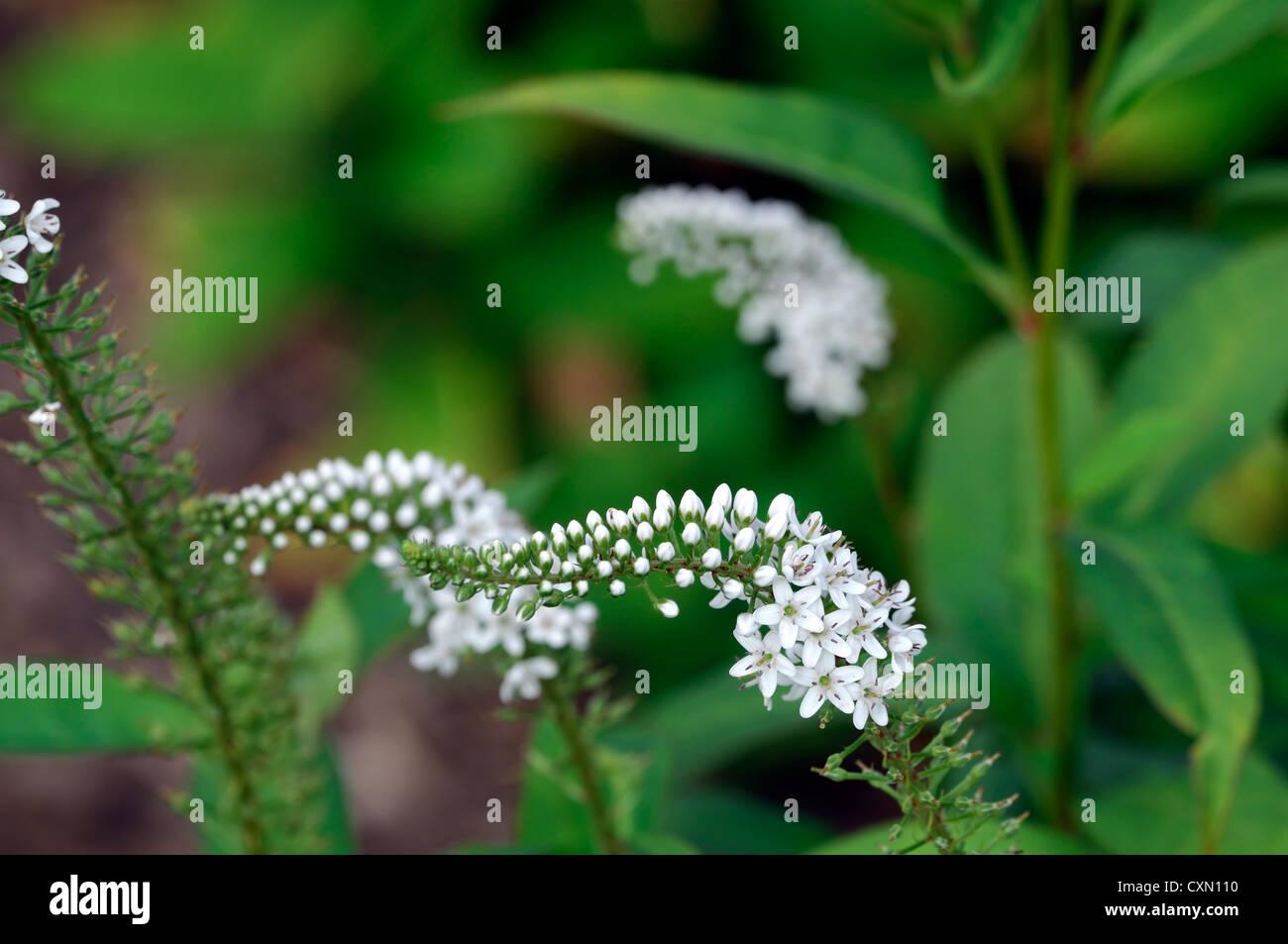 Lysimachia barystachys white spire spike flowers flowering lysimachia barystachys white spire spike flowers flowering perennials spires spikes mightylinksfo