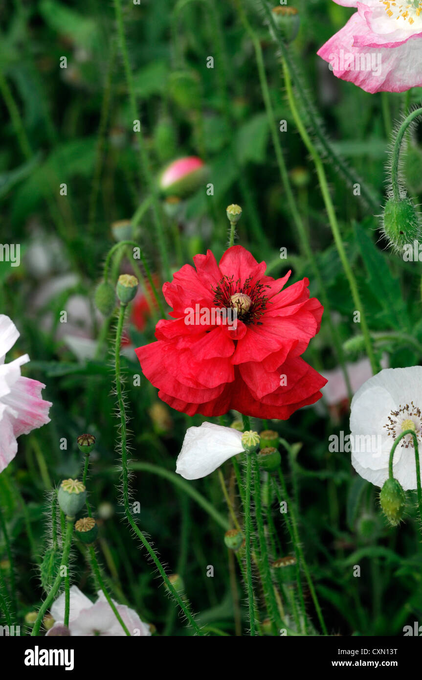 Papaver rhoeas Angels choir mix mixed poppies poppys poppy red white ...