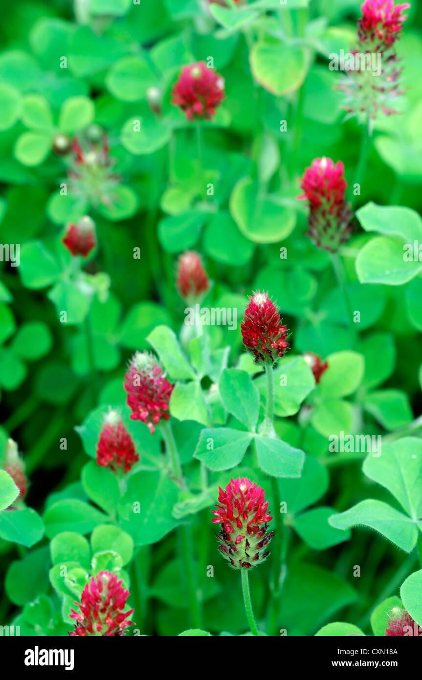 Trifolium pratense red clover flowers flowering mass masses green manure natural soil enrichment - Stock Image