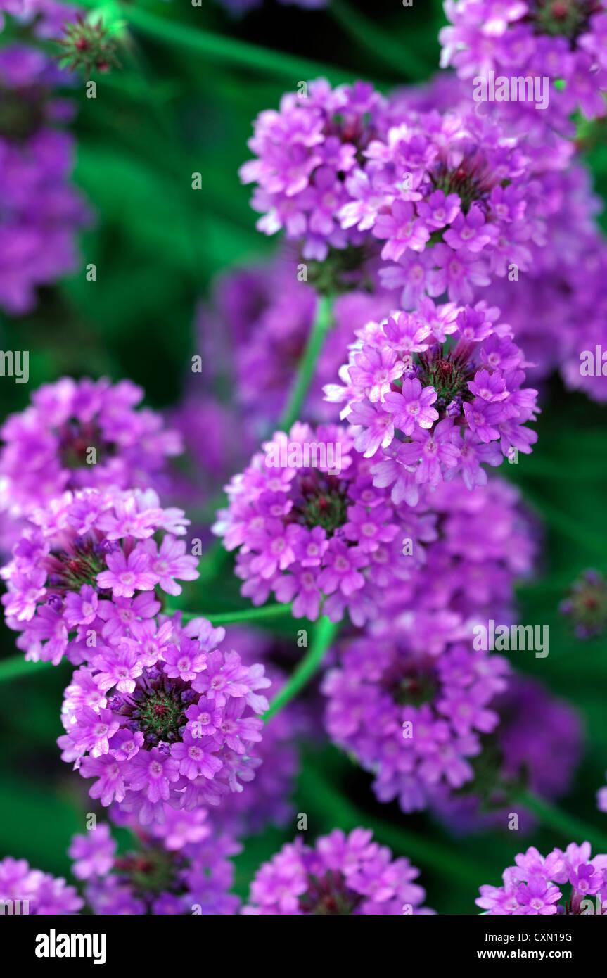Verbena Venosa Agm Verbena Rigida Purple Flower Flowers Perennial