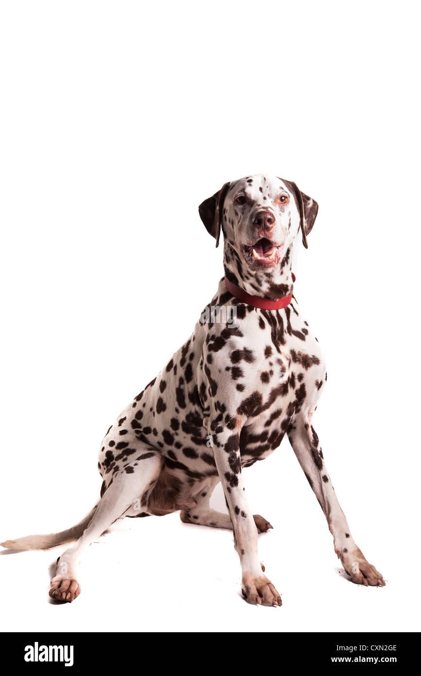 Dog - Dalmatian - Stock Image