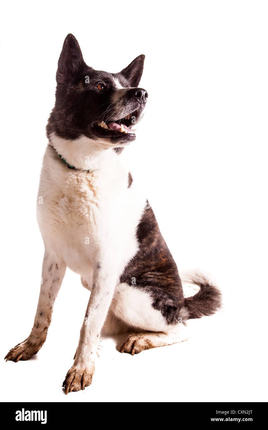 Dog - Akita - Stock Image
