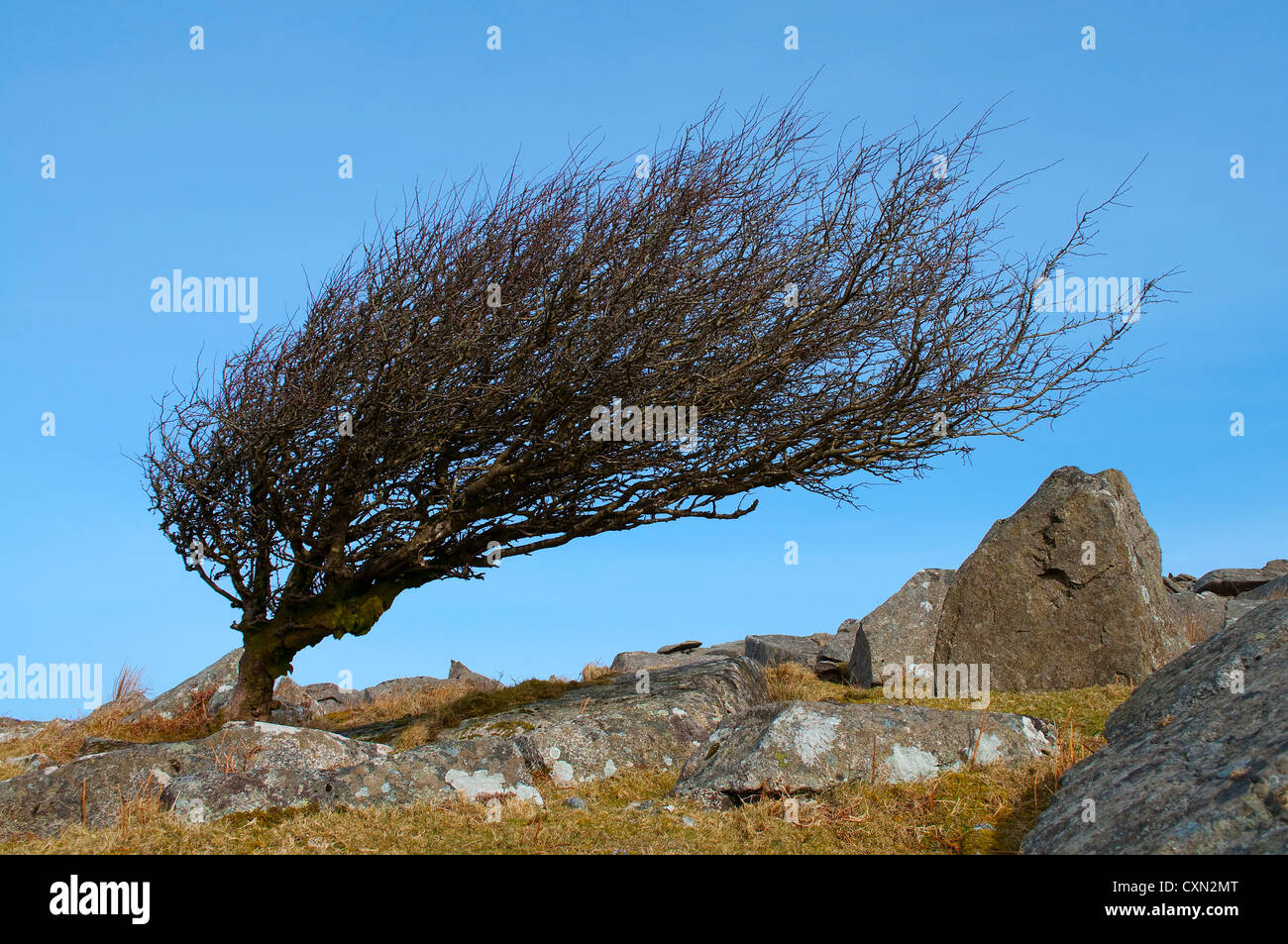 A leafless wind shaped hawthorn tree on bodmin moor in cornwall, uk Stock Photo
