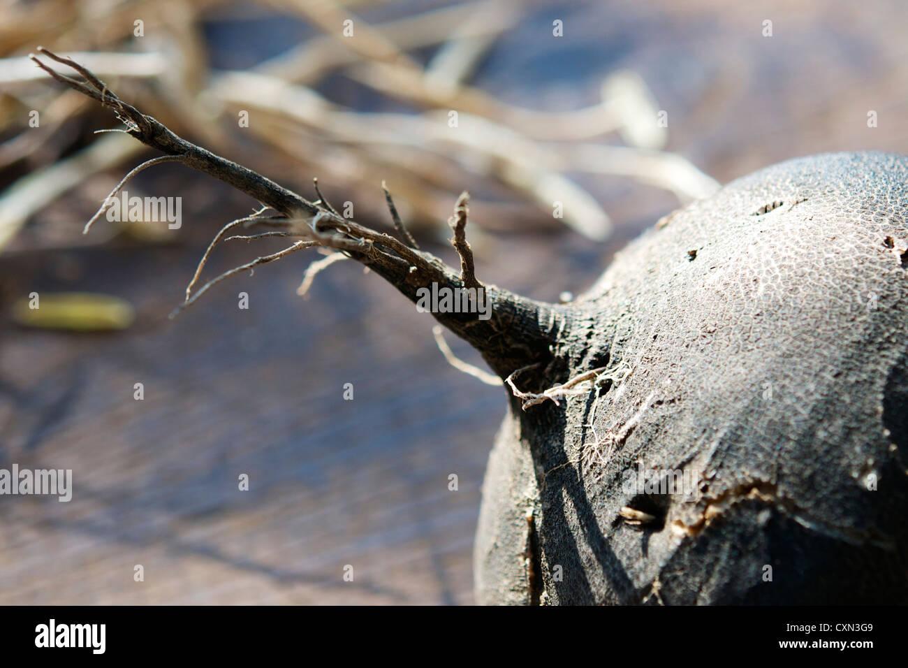 Black (Skinned) Radish (Rapahnus sativus) - Stock Image