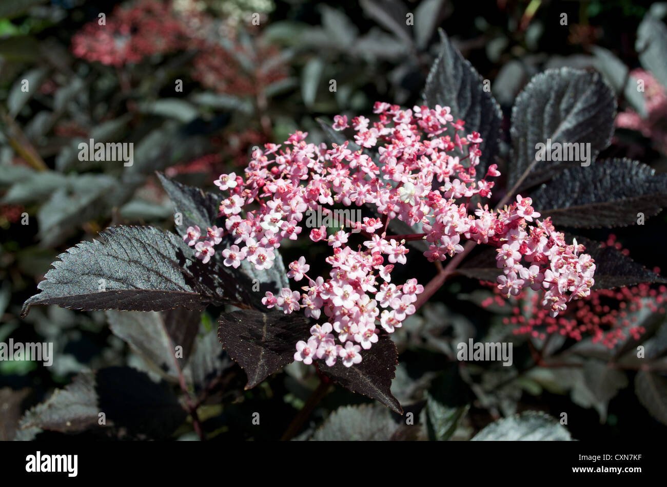 19c04319a8e0 purple elderflower sambucus Stock Photo  50868819 - Alamy